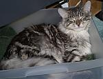 Tigger the Maine Coon